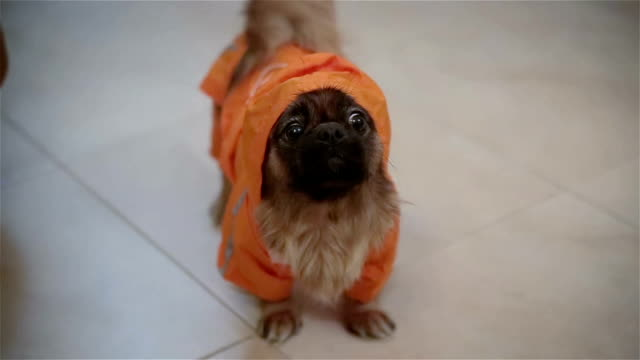 little dog in suit - clothing stock videos & royalty-free footage
