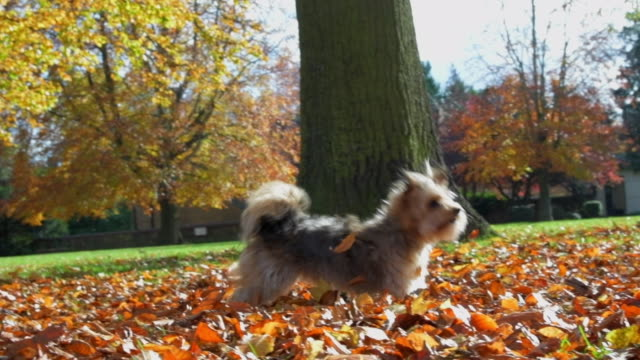 little dog leaping in autumn leaves slow motion - autumn stock videos & royalty-free footage