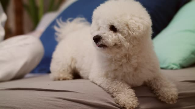 little dog resting on a bed after playing catch with his owner - bichon frise stock videos and b-roll footage