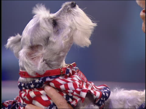 a little dog wears a patriotic bandanna and howls while its owner sings. - televisione a ultra alta definizione video stock e b–roll