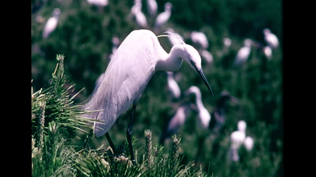Little egret adult birds standing on branches fluffing up feathers HA WS Pair standing like bookends on top of tree Herons freshwater opportunistic...
