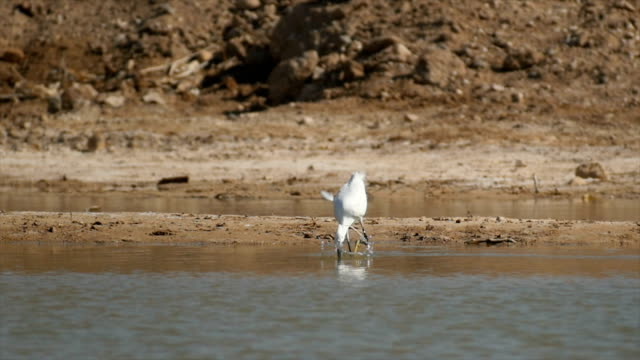 little egret (egretta garzetta)feeding in water - reihergattung egretta stock-videos und b-roll-filmmaterial
