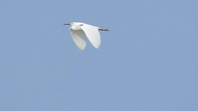 青空を飛ぶ小さなエグレット。 - シラサギ点の映像素材/bロール