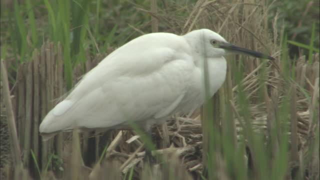 Little Egret stands amongst reeds, Quinling, China