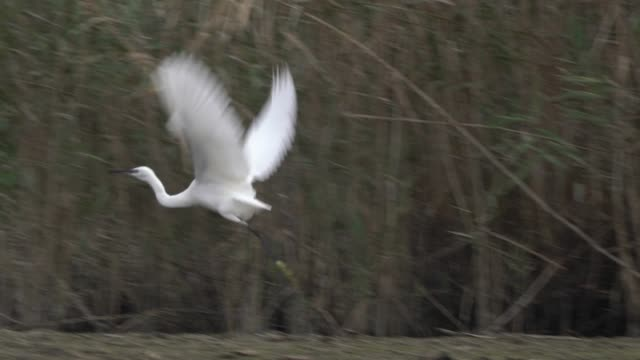 little egret (egretta garzetta) - egret stock videos and b-roll footage