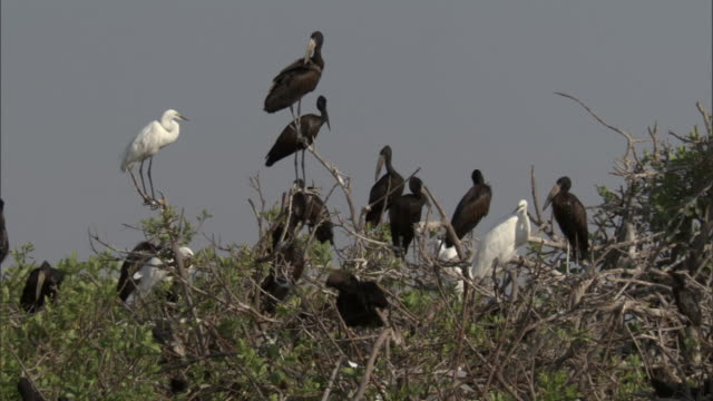 little egrets and openbill storks perch in the treetops. available in hd. - bbc stock videos & royalty-free footage