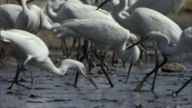 little egrets (egretta garzetta) forage in salt lake, lake magadi, kenya  - egret stock videos and b-roll footage