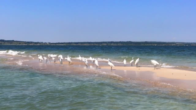little egrets standing close to the shore in lake victoria - egret stock videos & royalty-free footage
