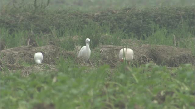 Little egrets watch crested ibis foraging in field, Jiuzhaigou, China