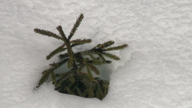 cu little fir in snow / grindelwald, bernese oberland, switzerland - albero sempreverde video stock e b–roll