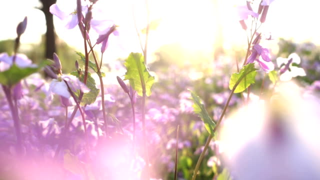little flowers at sunset - domestic garden stock videos & royalty-free footage