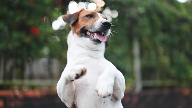 小さな面白いジャックラッセルテリアペット犬は夏に外で楽しむ夏のペットを楽しむ - ペット点の映像素材/bロール