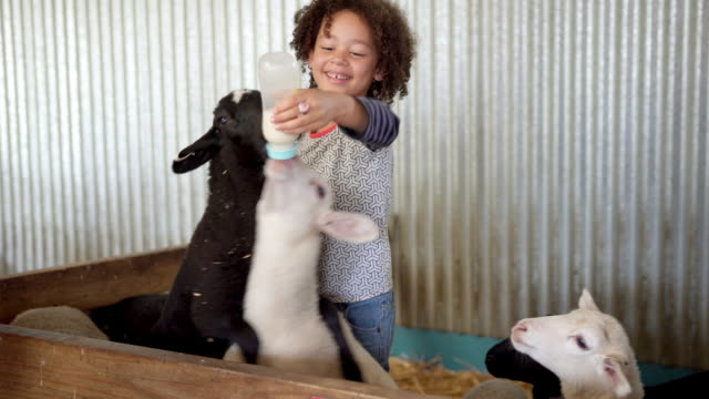 little girl feeding the baby lambs in an enclosure on a farm - lamb animal stock videos and b-roll footage