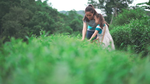 little girl harvesting tea leaves - plantation stock videos & royalty-free footage