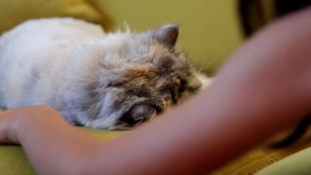 little girl kissing her cat - human limb stock videos & royalty-free footage