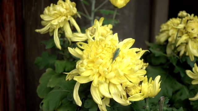 a little grasshopper is in the flower core of chrysanthemum - chrysanthemum stock videos & royalty-free footage