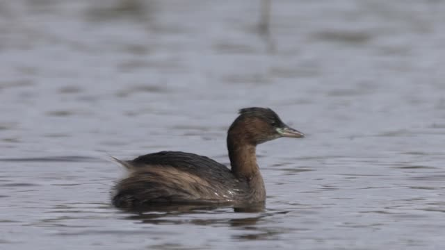 little grebe (tachybaptus ruficollis) - anatra uccello acquatico video stock e b–roll
