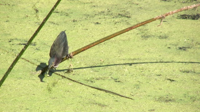 Little Green Heron Grabbing  Minnow