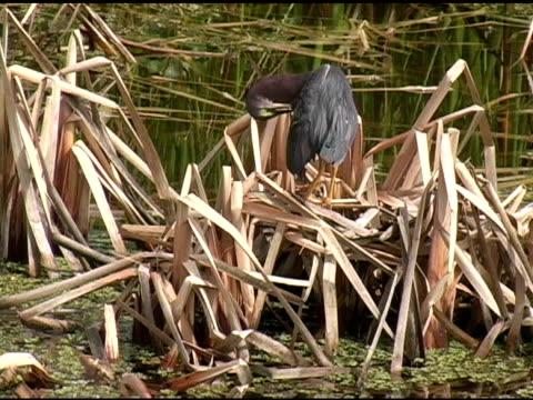 vidéos et rushes de little héron vert se lisser les plumes - se lisser les plumes