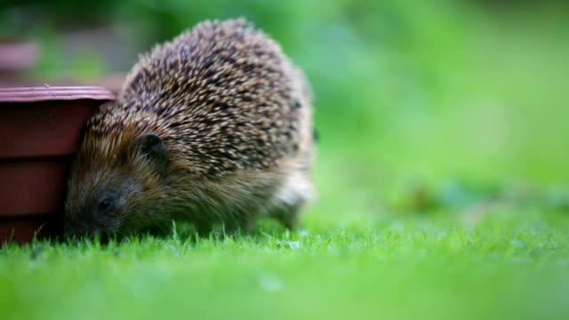 little hedgehog in garden - hedgehog stock videos & royalty-free footage