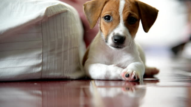 little jack russell terrier dog looking to camera - jack russell terrier stock videos & royalty-free footage