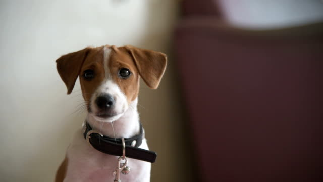 little jack russell terrier dog looking to camera - dog and cat stock videos and b-roll footage