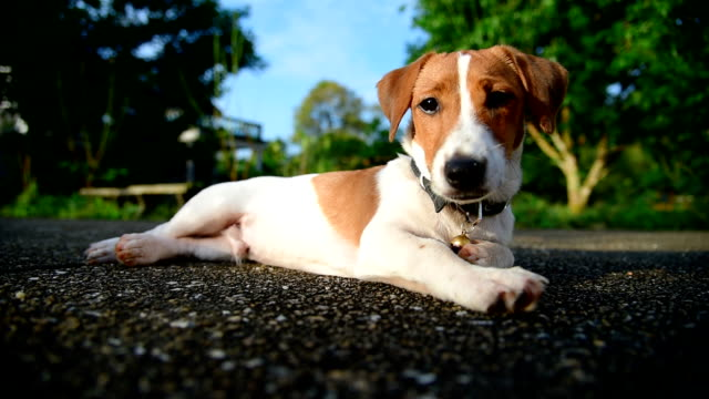 little jack russell terrier dog looking to camera - animal head stock videos & royalty-free footage