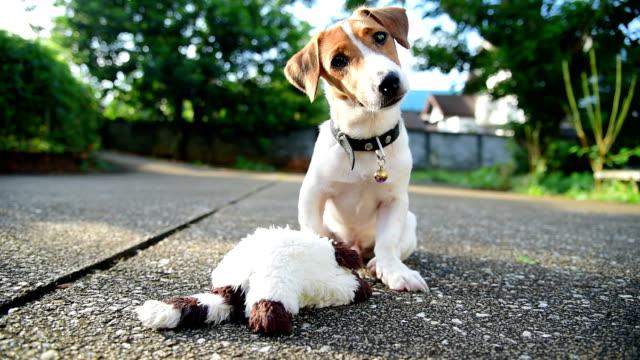 vidéos et rushes de petit chien jack russell terrier à la recherche d'appareil photo - terrier jack russell