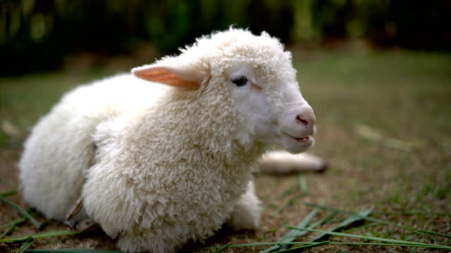 little lamb eating grass outdoor. - animal head stock videos & royalty-free footage