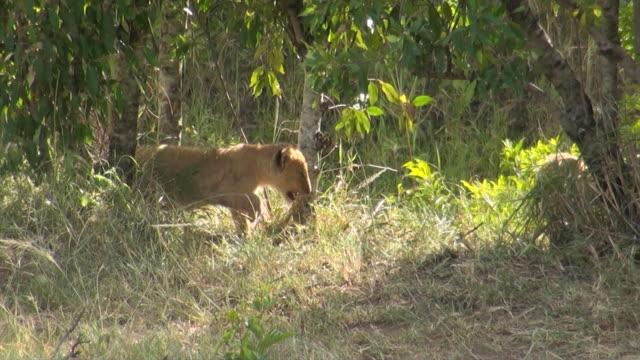 ms ts little lion cub walking through thick bush in masai mara national park audio / masai mara, rift valley, kenya - komplett stock-videos und b-roll-filmmaterial