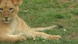 A little lion lying on grass