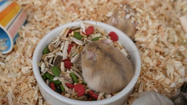 vídeos y material grabado en eventos de stock de ratoncito comiendo - hamster