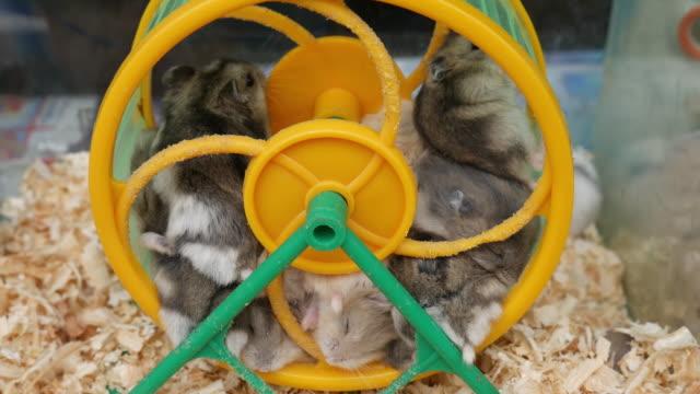 vídeos y material grabado en eventos de stock de pequeño ratón en la rueda - hamster