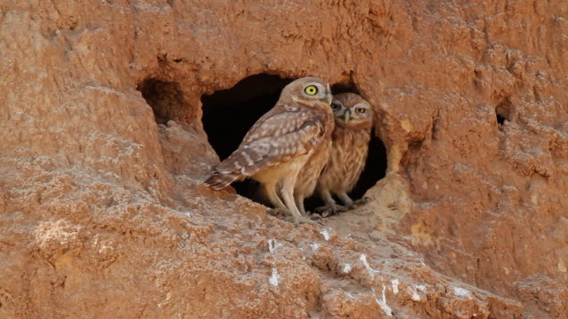 Little Owl (Athene noctua) 3 standing at a hole in sand cliff