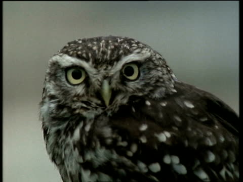 CU Little Owl, Athene noctua,  looking to camera, turns head to profile, pans to construction site in distance, United Kingdom