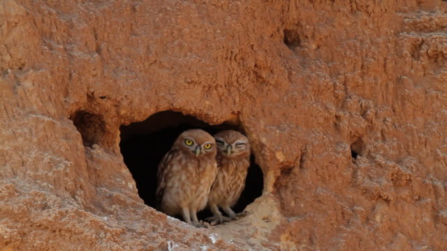 Little Owl (Athene noctua) couple standing at a hole in sand cliff