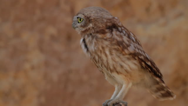 little owl (athene noctua) flaying from a branch  - branch stock videos & royalty-free footage