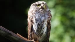 Little owl sitting on a branch in the forest