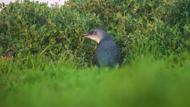 a little penguin (eudyptula minor) out of its burrow - small stock videos & royalty-free footage