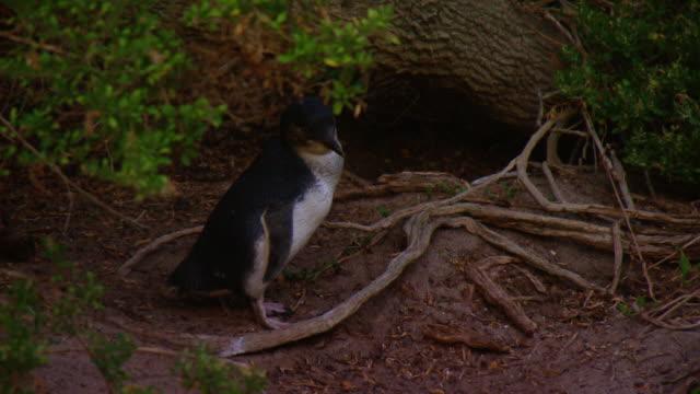 little penguin standing outside its burrow grooming itself - flightless bird stock videos & royalty-free footage