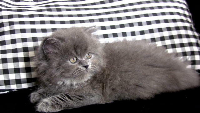 little persian cat. - bedclothes stock videos & royalty-free footage