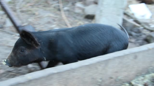 Little piglets eat from trough and jolly run on farm yard