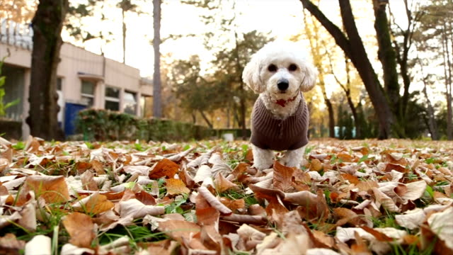 little playful dog - bichon frise stock videos and b-roll footage