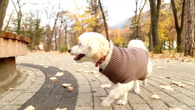 vídeos de stock, filmes e b-roll de pequeno cão brincalhão - casaco curto com mangas