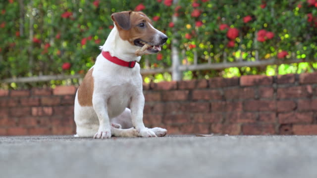 little playful jack russell terrier dog playing in garden in morning - jack russell terrier stock videos & royalty-free footage