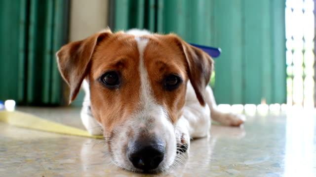 vidéos et rushes de petit chien jack russell terrier ludique, jouant dans le jardin en matinée - terrier jack russell