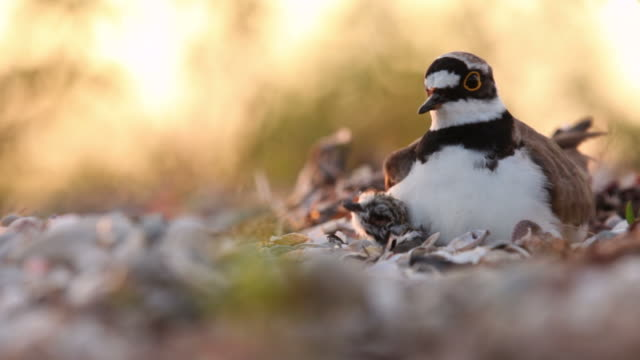 little plover with chick - 1969 stock videos & royalty-free footage