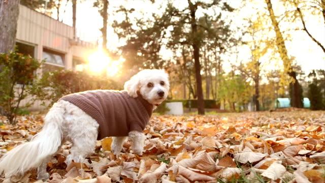 vídeos de stock, filmes e b-roll de pouco de poodle tem medo da câmera - casaco curto com mangas