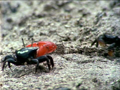 stockvideo's en b-roll-footage met little red and black crabs walk along sandy ground. - ongewerveld dier