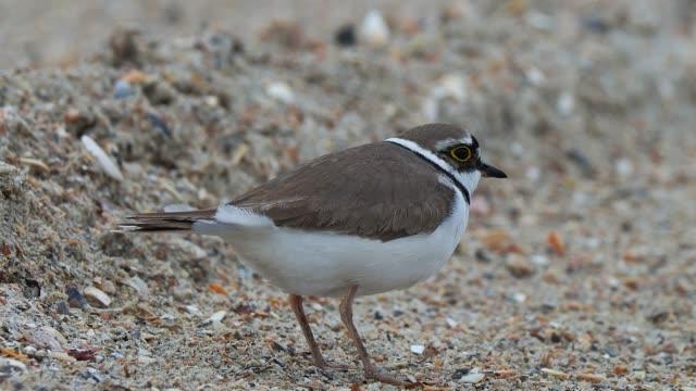 little ringed plover on the sand beach - tierkörper stock-videos und b-roll-filmmaterial